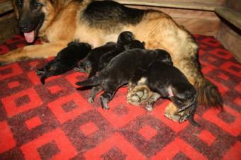 10 điều cần chú ý trong việc chăm sóc chó sau khi đẻ