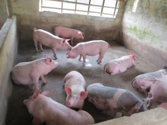 Phòng trị bệnh thương hàn ở lợn