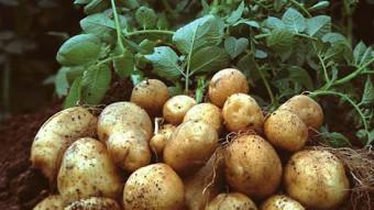 Năng suất gấp 3 lần khi trồng khoai tây bằng hạt