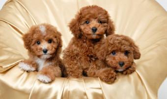 Một số thông tin về giống chó poodle