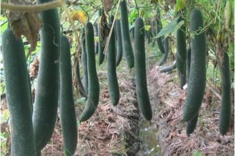 Kỹ thuật trồng cây bí xanh