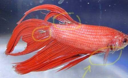 Bệnh ký sinh (parasite) ở cá betta