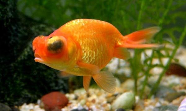 Bệnh lồi mắt ở cá vàng