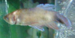 Bệnh lở miệng xuất hiện ở lưng, thân và vây cá betta