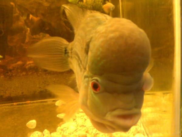 Bệnh lồi mắt ở cá phúc lộc thọ