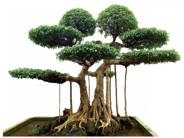 Bộ sưu tập những cây cảnh đẹp nhất Việt Nam