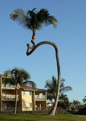 Cây dừa cảnh nên trồng trước nhà phù hợp phong thủy