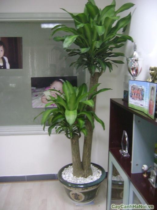 Cây cảnh phong thủy trong phòng khách - thiết mộc lan
