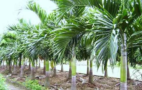 Kỹ thuật trồng cây cau lùn không khó lại cho quả quanh năm